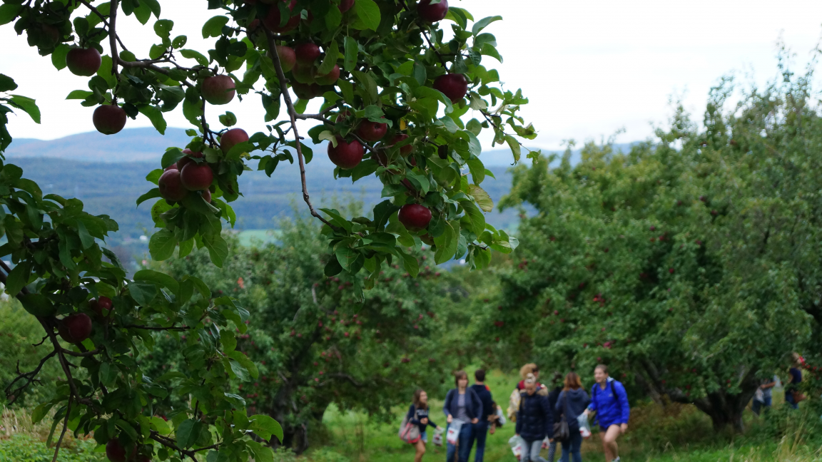 Apple picking on Orleans Island