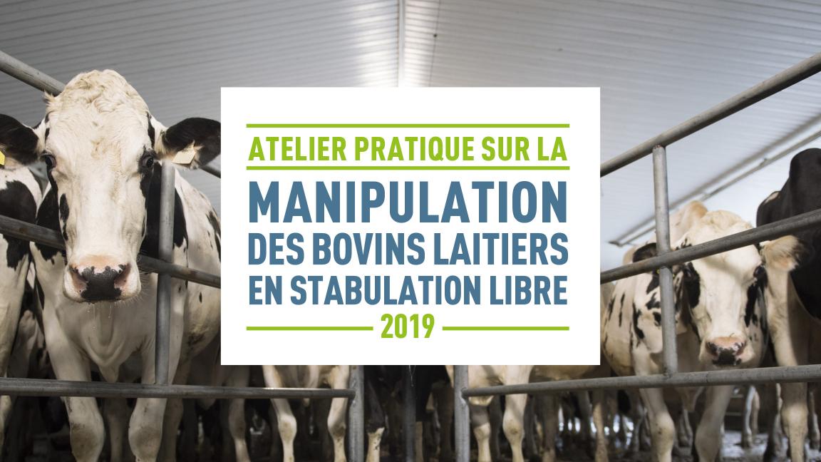 Atelier pratique sur la manipulation des bovins laitiers en stabulation libre (Sainte-Hélène-de-Bagot)