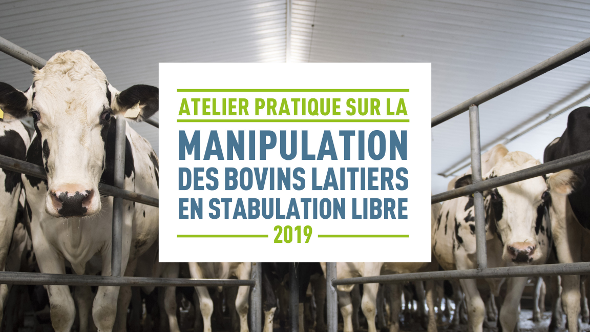 Atelier pratique sur la manipulation des bovins laitiers en stabulation libre (Saint-Louis-de-Gonzague)